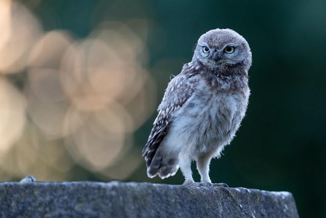 Little Owlet - Standing Tall