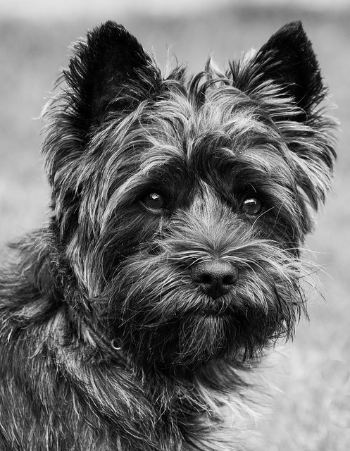Mighty Murphy my beautiful 2 year old Cairn Terrier. (Featured on EXPLORE)