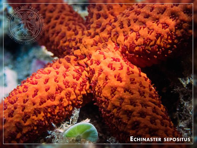 Echinaster sepositus