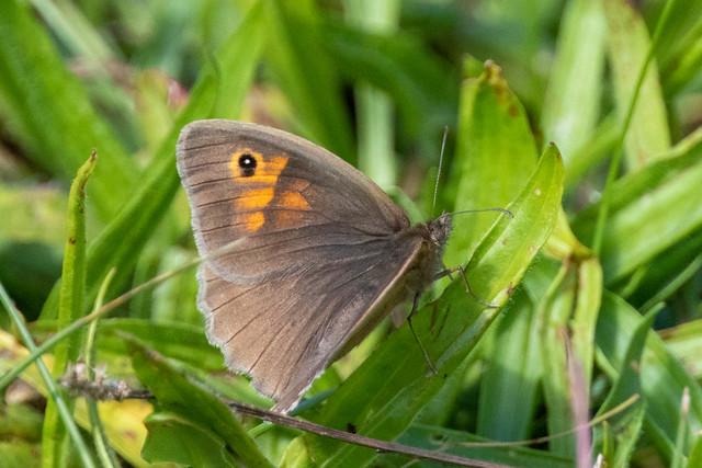 Meadow Brown on green grass