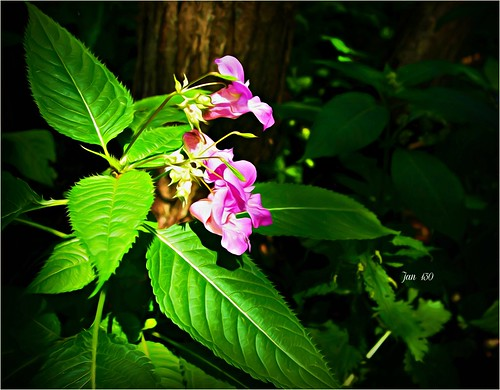 jan130 flowers himalayanbalsam pink plentiful impatiensglandulifera invasive beautiful importedspecies music song joanarmatrading topazstudio englanduk coth5 ngc npc