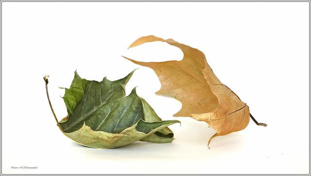 Combat de feuilles !