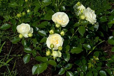 Roses in Rundāle garden