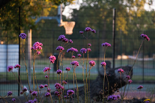 Basketball court flowers  Brockwell Park
