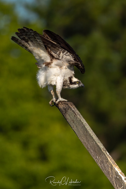 Osprey of the Jersey Shore | 2020 - 33