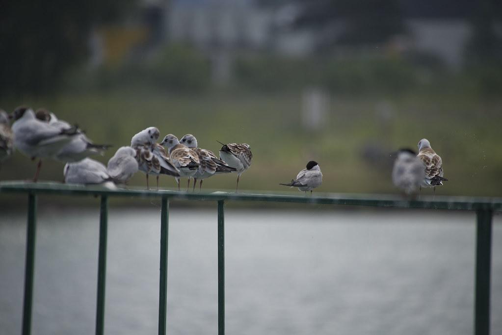 Чайки, крачки