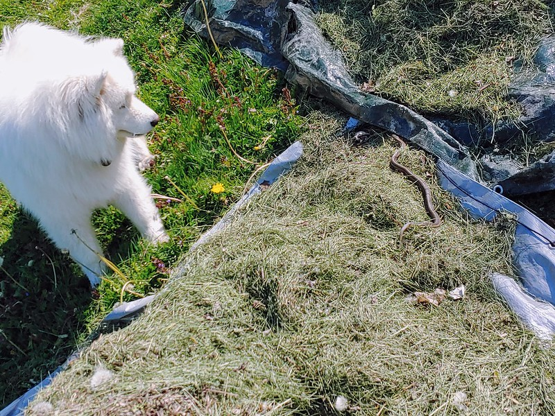 The dog discovers garter snakes in the grass clippings