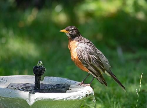 American Robin preening