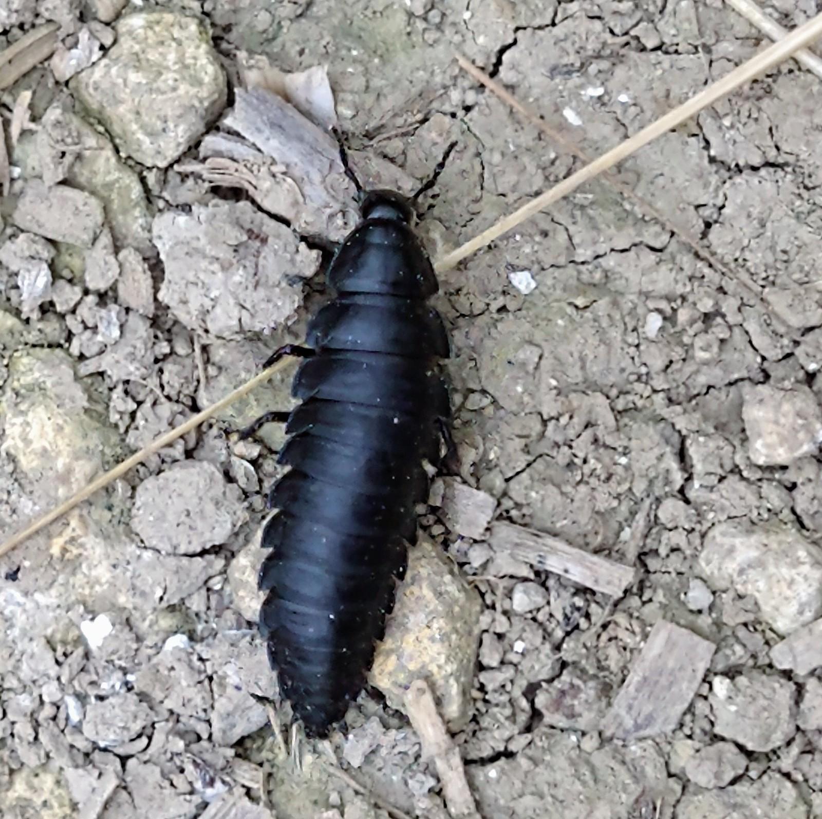 Saunderton - Chinnor Hill Circular Walk Silphid larva