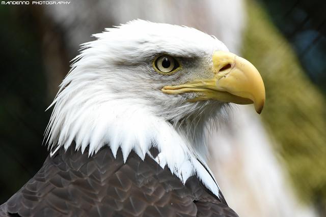 American sea eagle - Zoo Amneville
