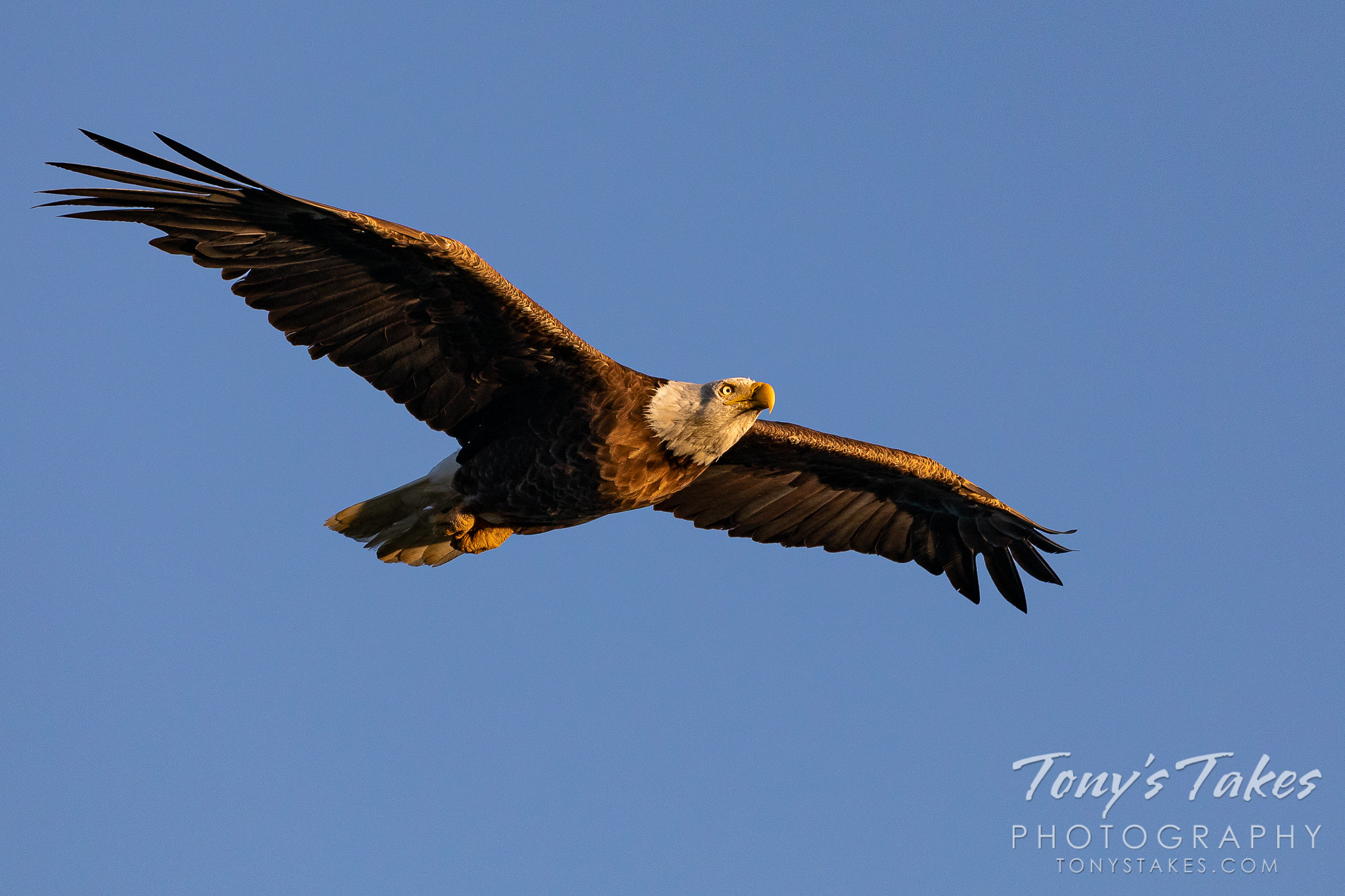 Bald eagle flyby in dawn's early light