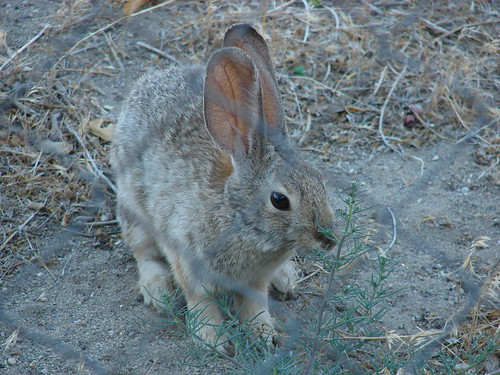 Field Rabbit