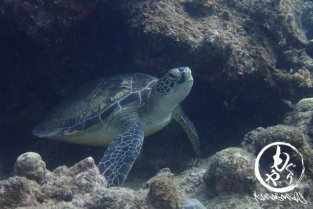 岩に体をこすりつけてかゆいかゆいしてたアオウミガメさんその1