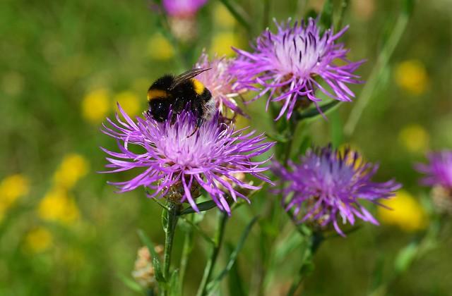 Munich - Bumblebee at Work