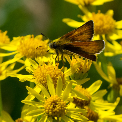 Small skipper, ragwort