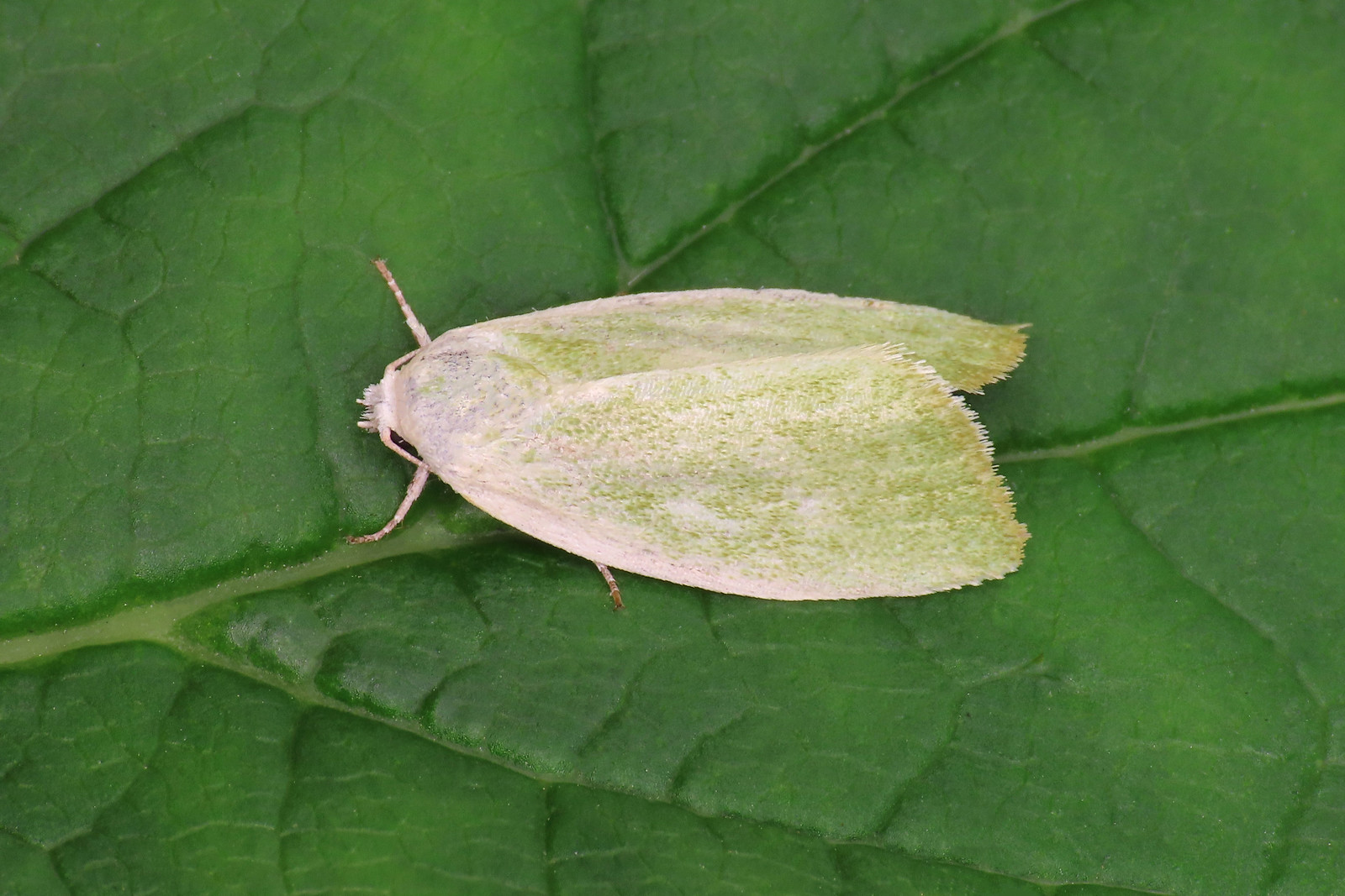 74.011 Cream-bordered Green Pea - Earias clorana