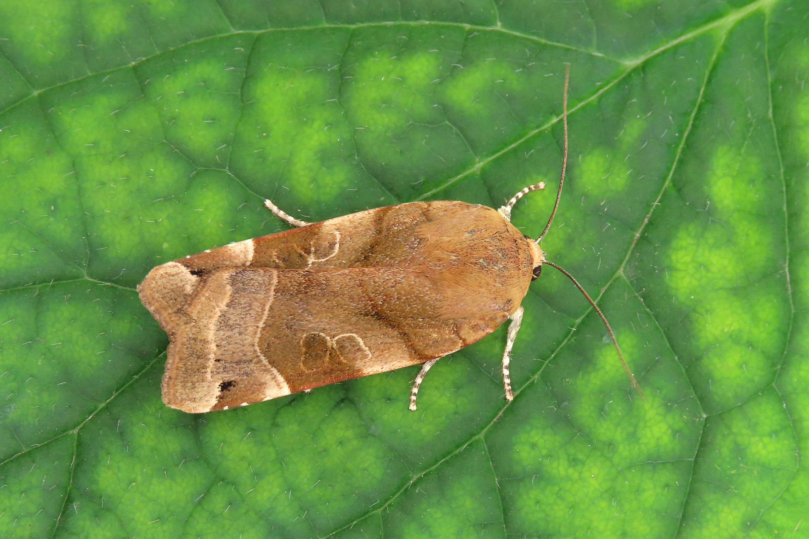 73.343 Broad-bordered Yellow Underwing - Noctua fimbriata
