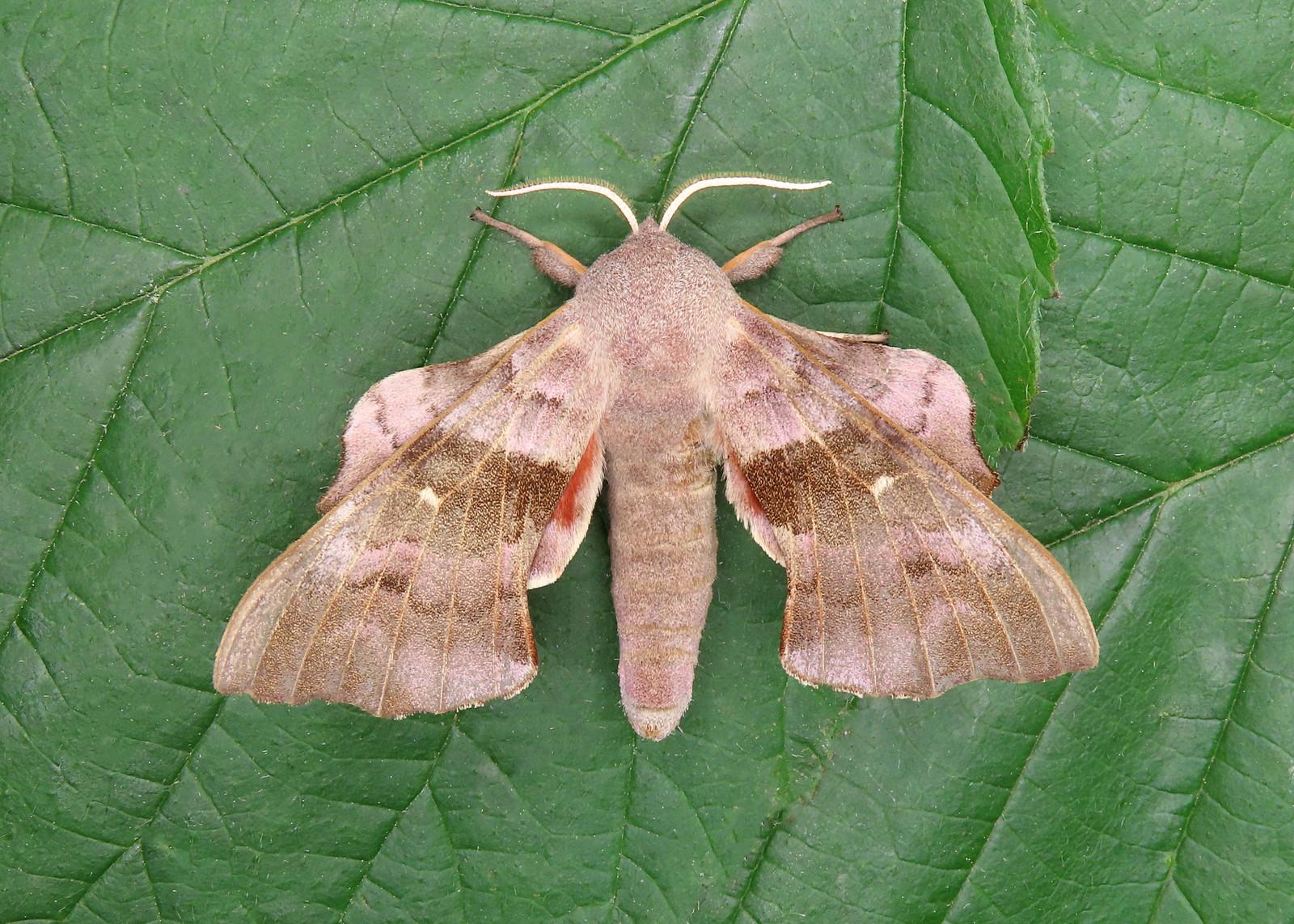 69.003 BF1981 Poplar Hawk-moth Laothoe populi
