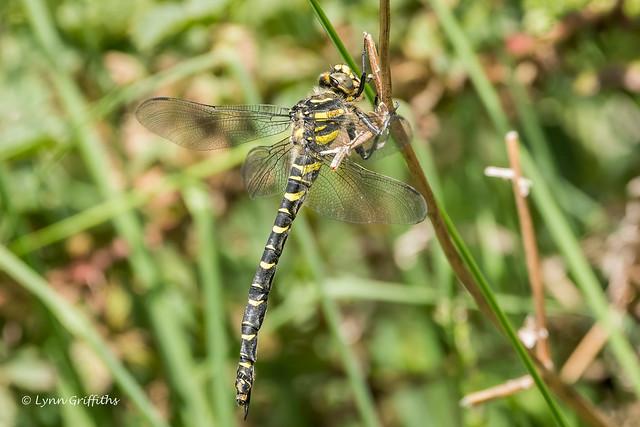Golden-ringed Dragonfly 502_7490.jpg
