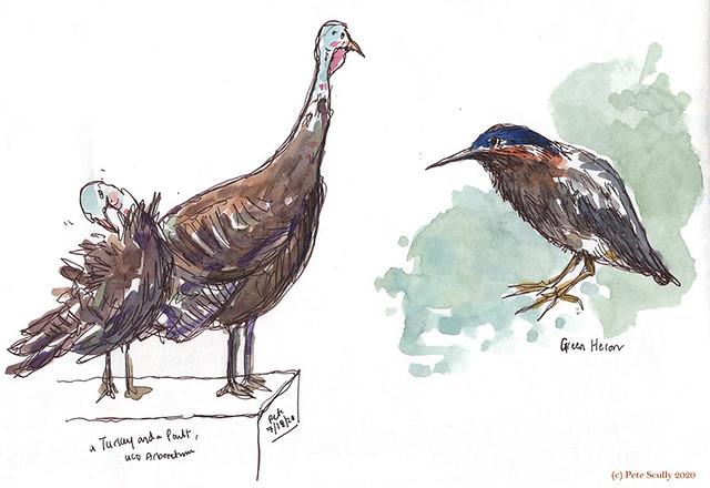 LDD 071820 turkeys and green heron