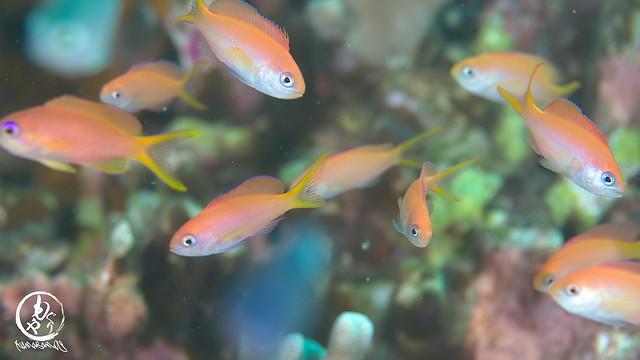 アカネハナゴイの幼魚たち♪