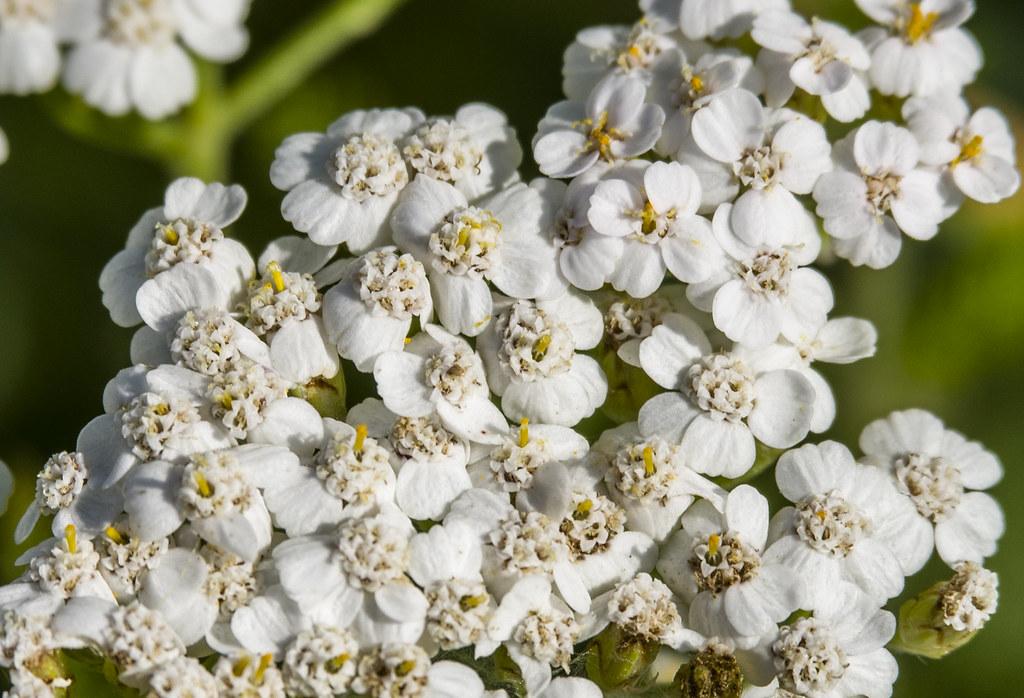 1000 цветков тысячелистника!