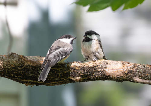 Fledgling chickadee on left, parent on right