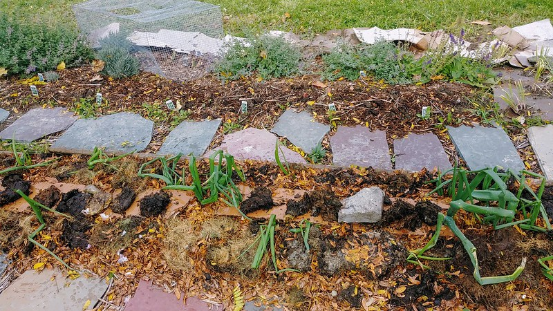 Mulching the garlic bed with leaves and grass clippings
