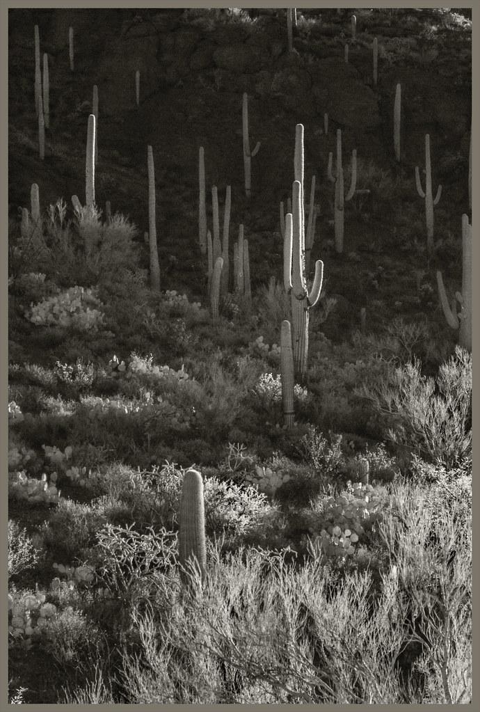 Gates Pass IR #21 2020; Saguaro Forest