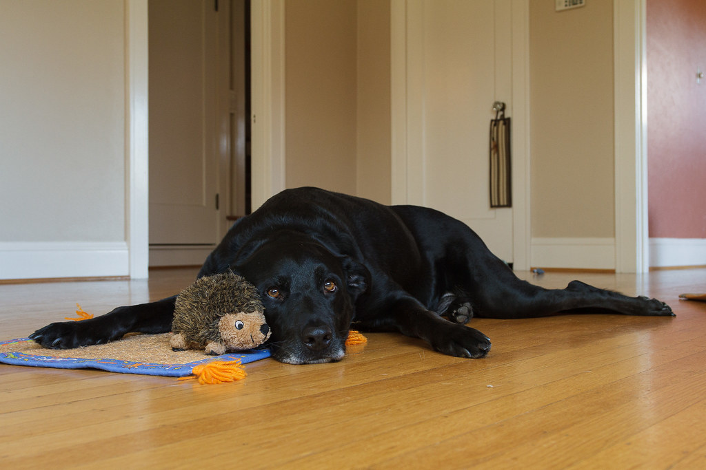 our dog Ellie looks a little forlorn as she lays on the hardwood floor beside one of her baby hedgehog dog toys in November 2009