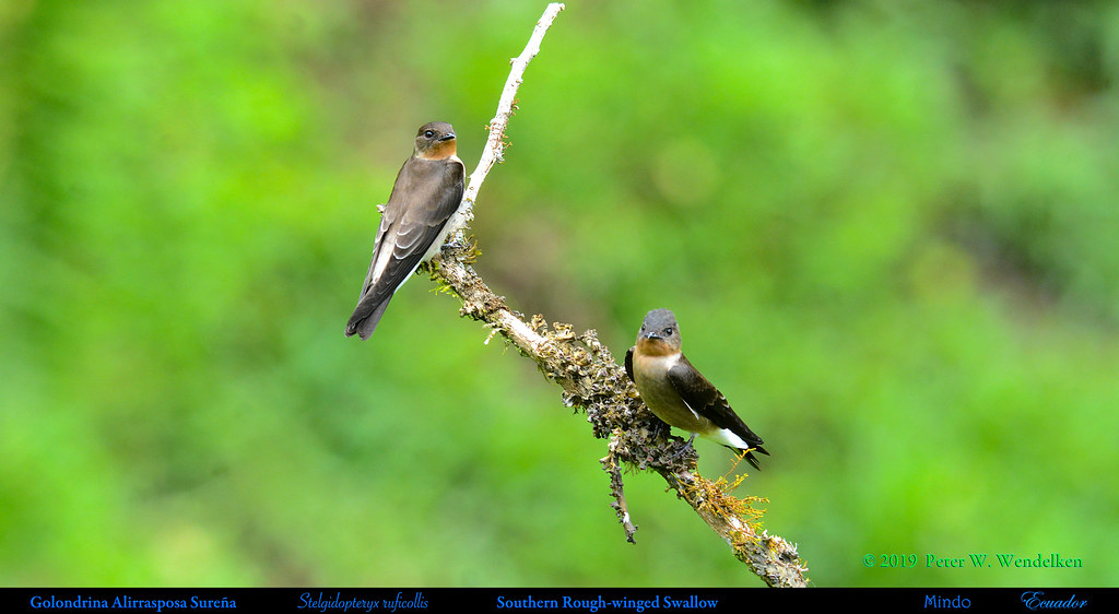 SOUTHERN ROUGH-WINGED SWALLOWS Stelgidopteryx ruficollis in Mindo in Northwestern Ecuador. Photo by Peter Wendelken.