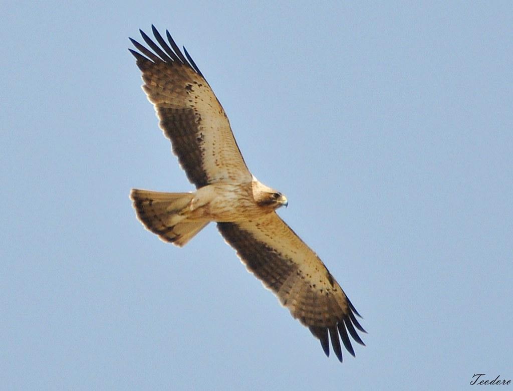 Águia-calçada. Aquila pennata