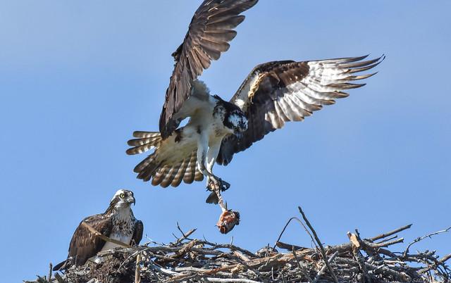 Osprey  - Family, 2 of 3