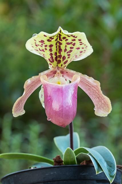 Paphiopedilum henryanum 7153-1; Orchidaceae (1)
