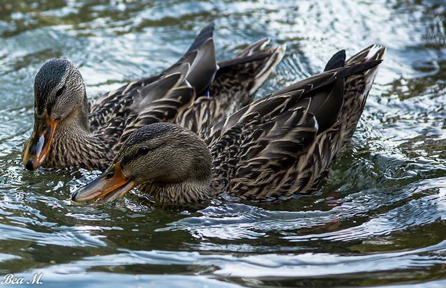 Im Park die Enten füttern