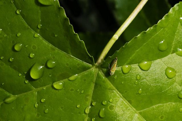 IMG_0020 Leafhopper