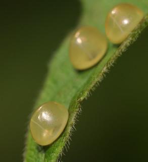 Acanthocephala eggs--detail