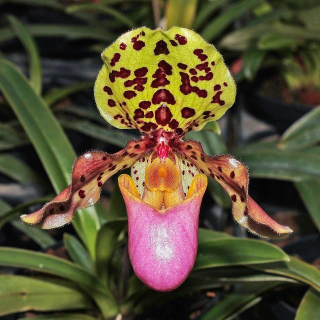 Paphiopedilum henryanum; Orchidaceae (1)