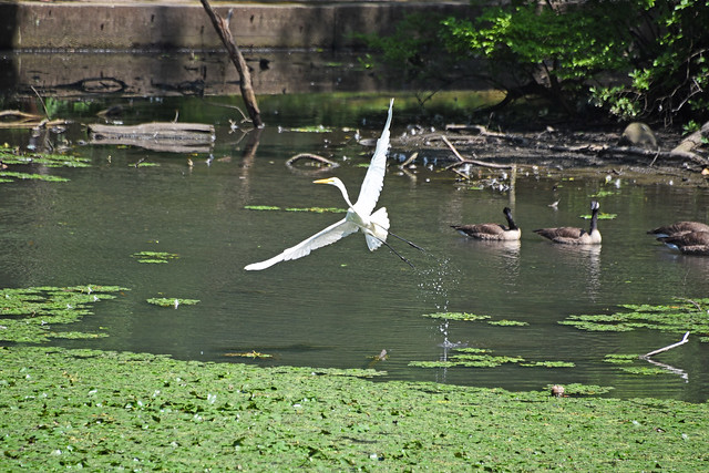 Picture Of Tibbetts Brook Park Lake Of A White Egret Goes Flying Into The Air  In Yonkers New York. Photo Taken Sunday July 19, 2020