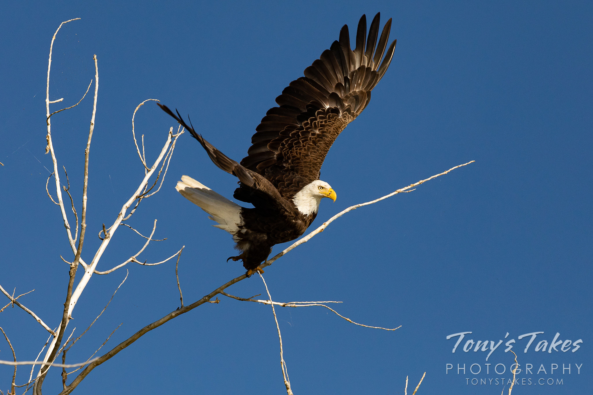 A male bald eagle launches from a tree in Boulder County, Colorado. (© Tony's Takes)