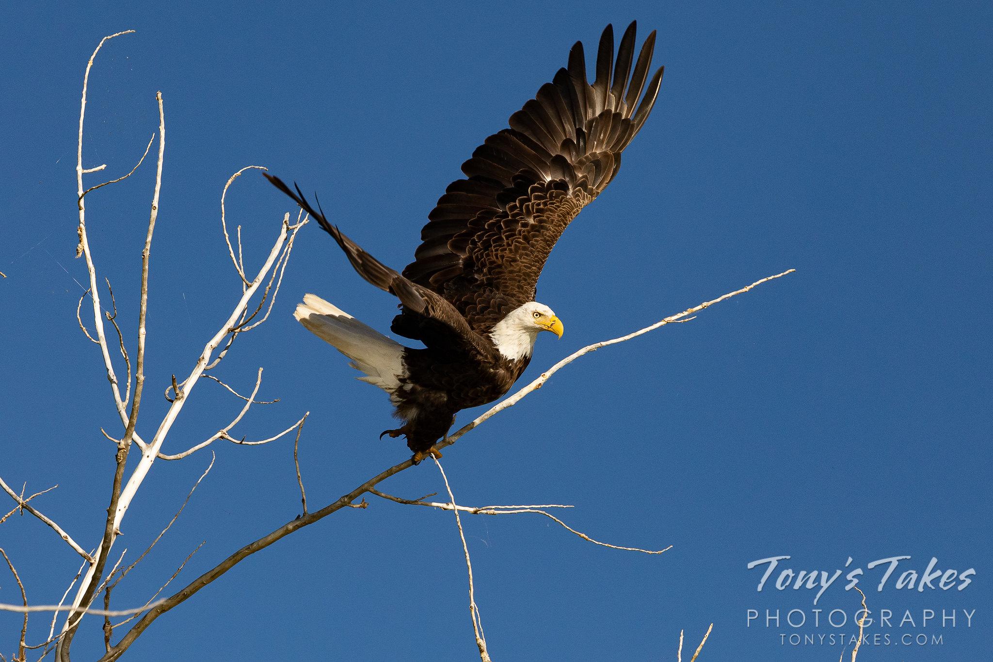 Bald eagle launching into the workweek