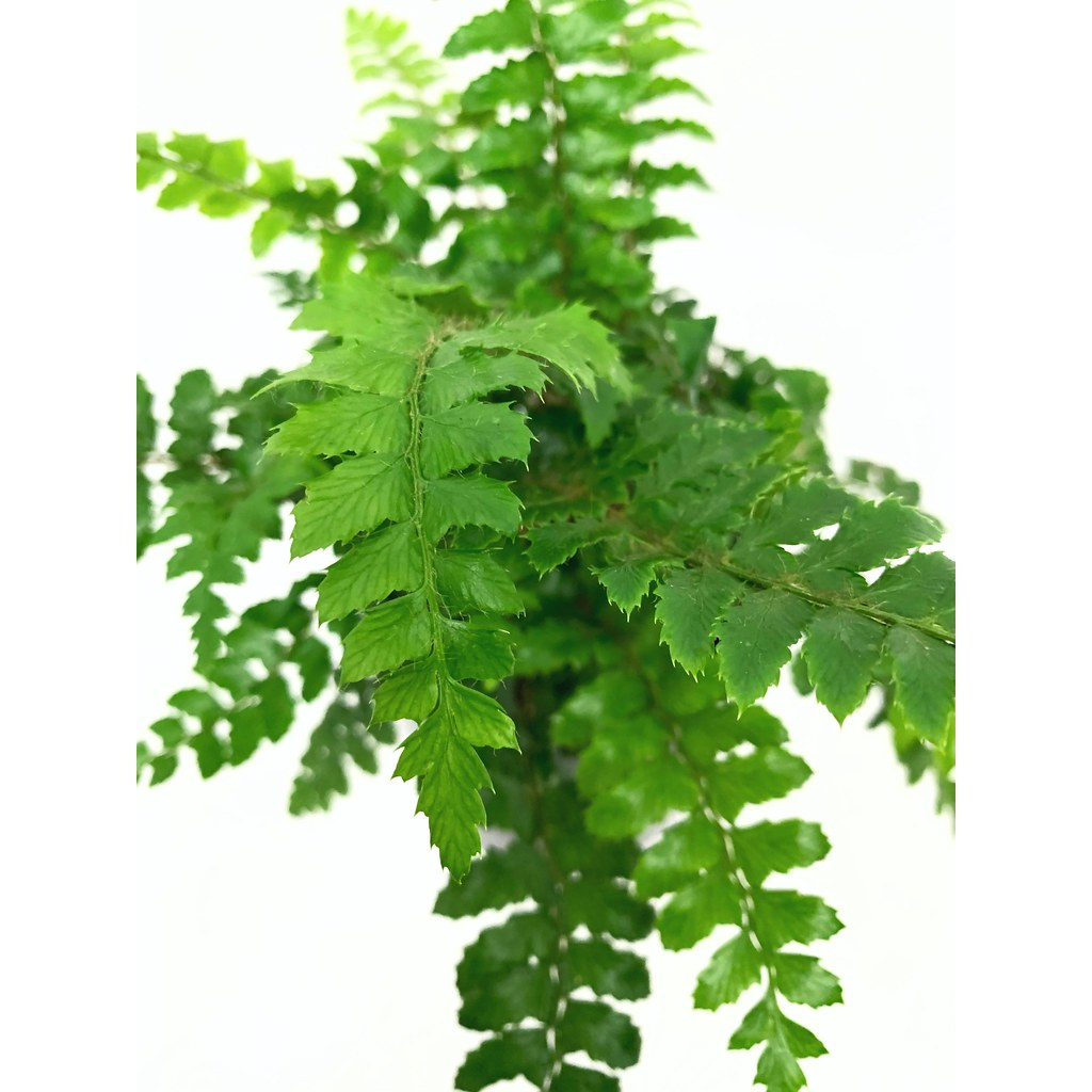 Mother Fern