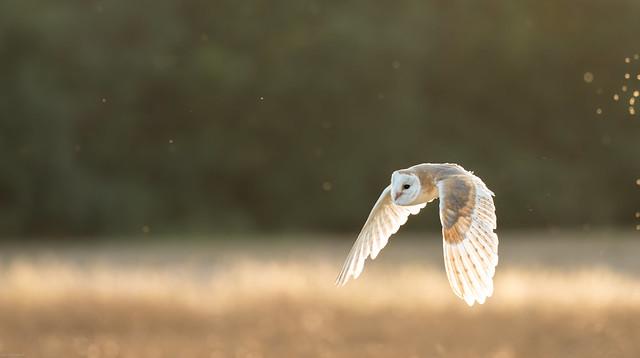 Barn Owl on the down beat!