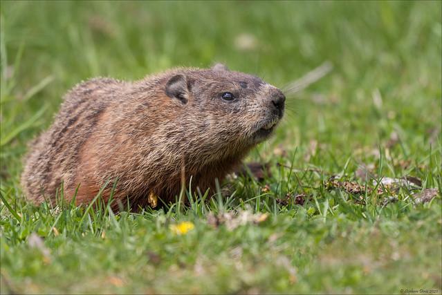 Marmotte commune - 2