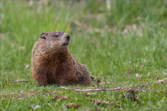 Marmotte commune - 1