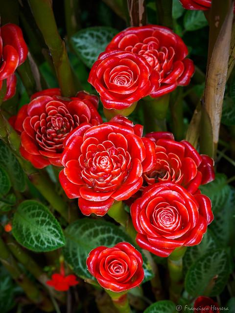 Siam rose ginger - Etlingera corneri