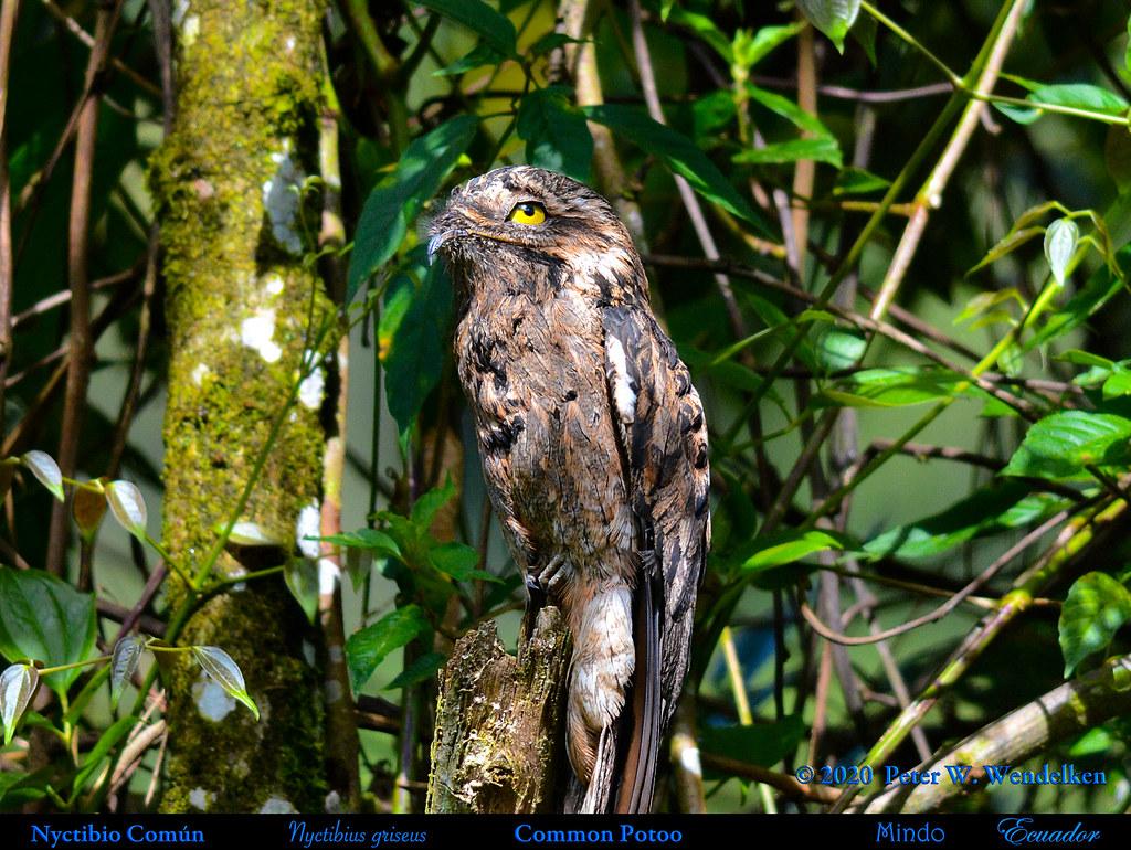 COMMON POTOO, Eye Open Wide. Nyctibius griseus near Mindo in Northwestern Ecuador. Photo by Peter Wendelken.