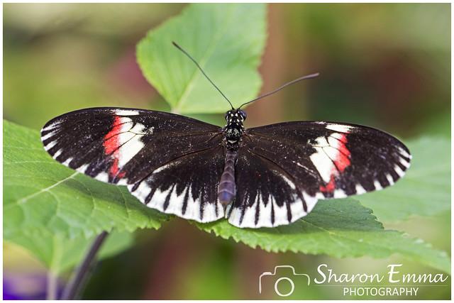 Postman Butterfly (Heliconius Melpomene Cythera)