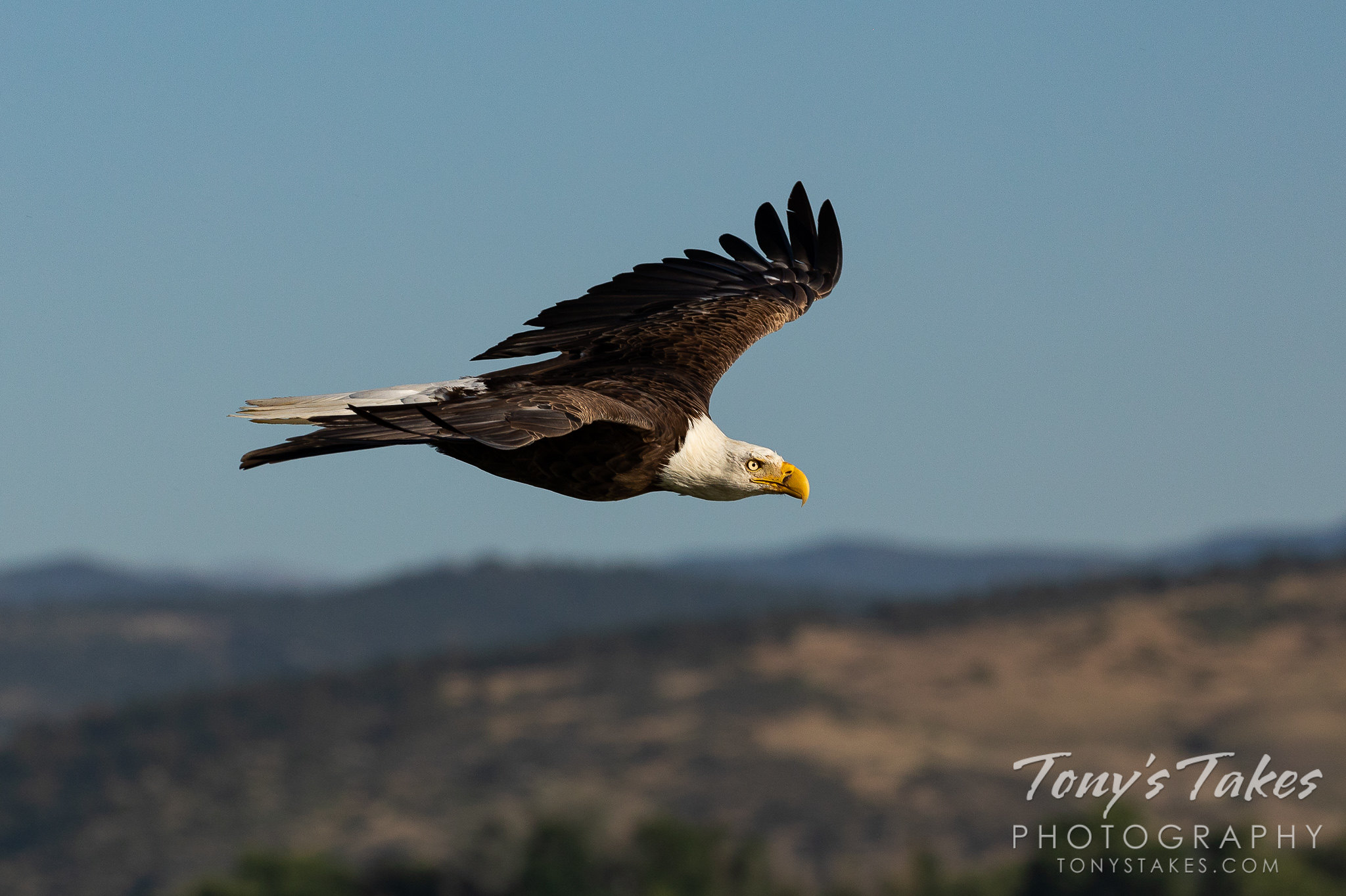 A male bald eagle flies by in the morning light in Boulder County, Colorado. (© Tony's Takes)