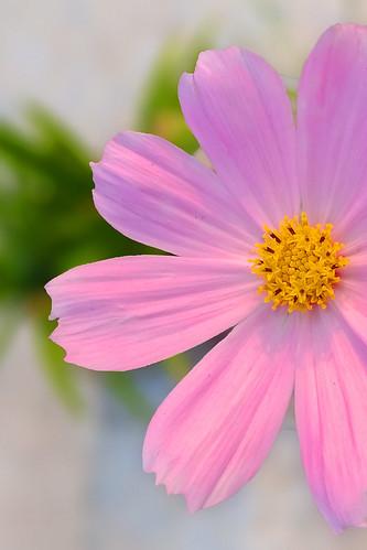 cosmos flower pink rooftopgarden bangladesh plant love